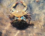 Photo #6 of 8.  Having reached the 'buster' molt stage, a Maryland blue crab , Callinectes sapidus, sheds its shell.  The genus and species mean tasty  beautiful swimmer.