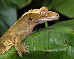 Gecko macro portrait