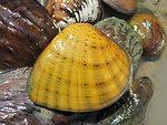 Butterfly Mussel