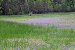 Fassett's locoweed on lake shoreline.