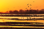 Sandhill Cranes Flying to Roost on Platte River in Central Nebraska