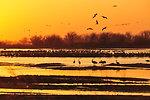 Sandhill Cranes Flying to Roost on Platte River in Central Nebraska