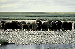 Muskoxen on Arctic National Wildlife Refuge