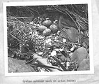 (1957) Oyster Catcher Nest
