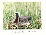 (1986) Red-Throated Loon