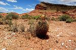 Siler pincushion cactus (Pediocactus sileri)