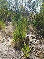 Santa Cruz Cypress Saplings