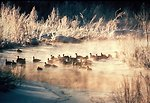 Photo of the Week - American black ducks in winter