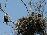 Productive Bald Eagle Nest