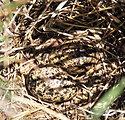 Wilson's Phalarope Nest