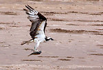 Osprey, Lower Rio Grande Valley National Wildlife Refuge