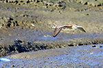 American widgeon in flight