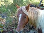 Chincoteague ponies after Hurricane Sandy (VA)