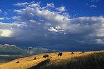 bison back from the brink