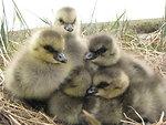 Cackling goose goslings
