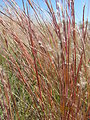 Little Bluestem (Andropogon scoparius)