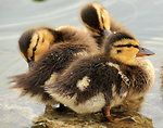 Mallard Ducklings 4