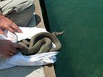 Recovered Lake Erie watersnake (Nerodia sipedon insularum)