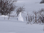 White-tailed Ptarmigan on Guanella Pass in Winter