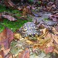 Photo of the week - Box turtle (WV)