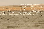 A Flock of Snow Geese on the Refuge
