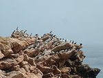 Atlantic puffins and razorbills