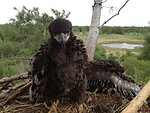 Bald Eagle at 6 Weeks By USFWS; Jeremy N. Moore