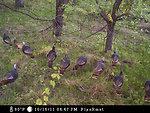 wild turkey flock