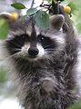 Photo of the Week - Raccoon (PA)