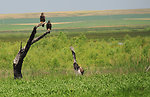 Bald eagle fledglings on Lacreek NWR 1
