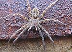 Fishing Spider at Neosho National Fish Hatchery