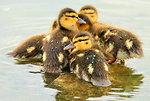 Mallard Ducklings 2