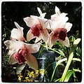 Orchid exhibit now open at USBG. Cymbidium featured in this pic.
