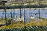Reintroduction at Chassahowitzka National Wildlife Refuge