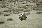 Male Greater Sage-Grouse