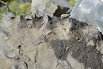 Plesiosaur Vertebrae