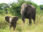 African elephant infant