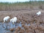 Newly Released Whooping Cranes