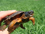 Juvenile Wood Turtle