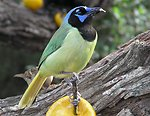 Green Jay, Laguna Atascosa National Wildlife Refuge