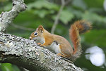 Photo of the Week - American Red Squirrel (MA)