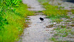 Virginia Rail (Rallus limicola) - newborn chick