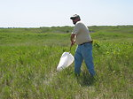 Collecting Flea Beetles