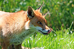 Fox licking lips