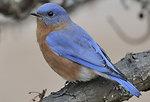 Photo of the Week - Eastern Bluebird (MA)