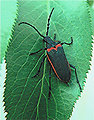 Valley Elderberry Longhorned Beetle female