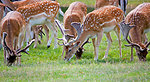 Deer herd close-up