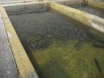 Lake trout in raceway