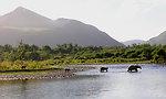 Bear family at Thumb River
