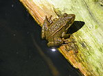 California Red-legged frog by Flo Gardipee